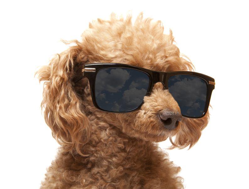 caniche con gafas