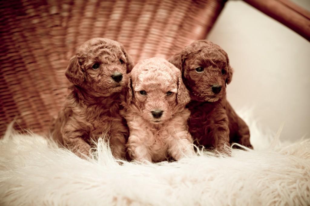 3 cachorros de caniche