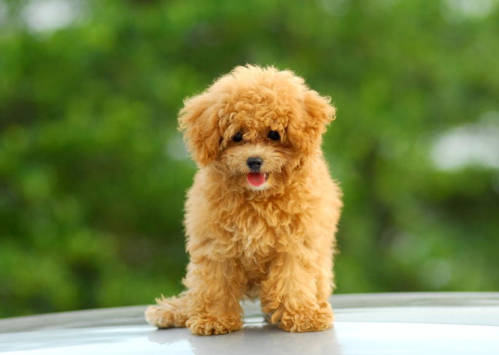 cachorro caniche